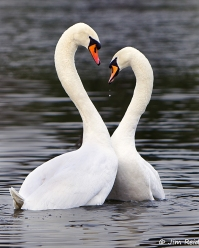 Swans' Mating Ritual