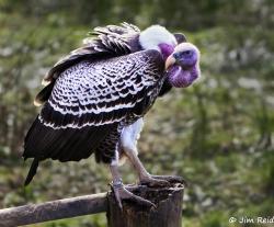 Rueppell's Griffon Vulture (gyps rueppelli)