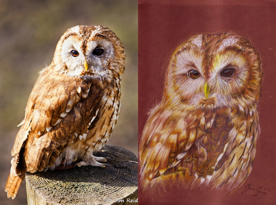 Tawny Owl Photo and Drawing